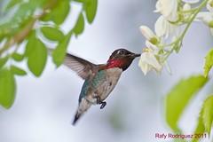 World's smallest bird/ El ave mas pequeña del mundo!Mellisuga helenae-Zunzuncito-Bee Hummingbird-male-Bermejas, Matanzas, Cuba.