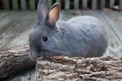 Does It Taste Good? (george.bremer) Tags: wood rabbit fujixpro1 planar3218touit