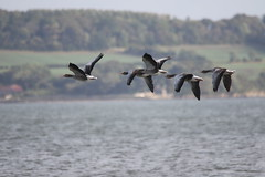Greylag in flight (themadbirdlady) Tags: anseranser greylaggoose anatidae blacknessnt0580 anseriformes