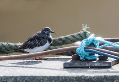 Turnstone (5) (grahamh1651) Tags: newlyn tolcarne gulls divers waders
