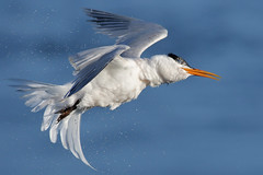 Twist and Shake (bmse) Tags: twist shake canon 7d2 400mm f56 l bmse salah baazizi wingsinmotion elegant tern