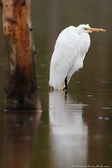 Great Egret (Julie Lubick) Tags: park wild white lake west reflection tree green bird tourism nature water ecology beautiful rain animal yellow vertical standing nationalpark spring pond waiting montana solitude quiet mt alba outdoor wildlife beak scenic feather large peaceful aves calm ardea national breeding western environment yellowstone serene resting wyoming wilderness migration delicate habitat egret ornithology rare tranquil avian greategret wading glassy ynp wy plumage migrant wader