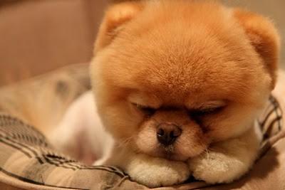 boo_Pomeranian_Dog_03