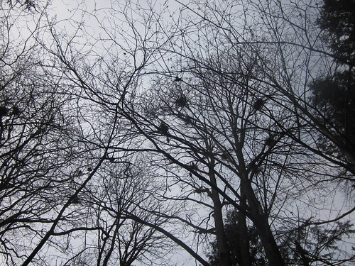 Each of those dark patches is a Great Blue Heron nest.