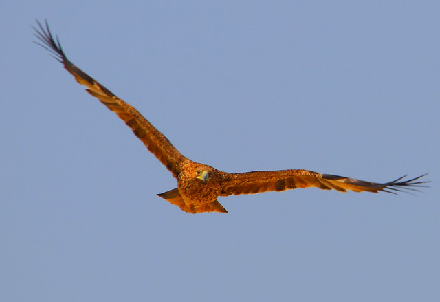 2011_02_13_016706_Imperial_Eagle_Juvenile_Crop