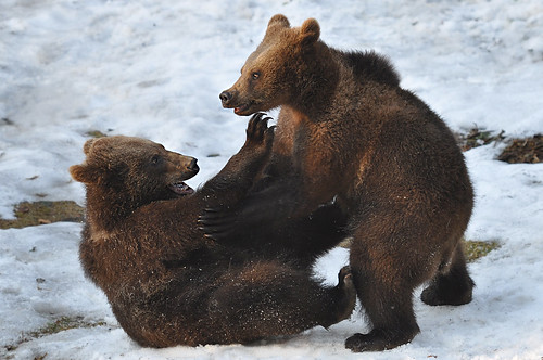 Bear Cubs Playing by dingopup, on Flickr