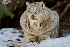 Yeti, a Canada Lynx from the Muskoka Wildlife Centre (Christopher Brian's Photography) Tags: trees portrait ontario canada cold color colour beautiful animal fauna forest cat interesting eyes colours picture sharp muskoka yeti lynx mwc tpmg torontophotographymeetupgroup animalrefuge canadalynx muskokawildlifecentre lightroom3 canoneos7d canon7020028ii
