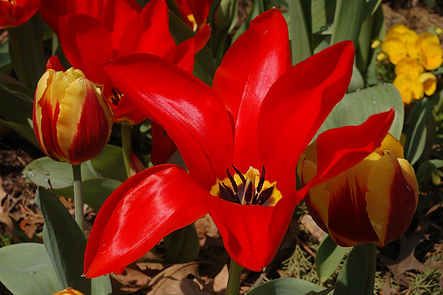 Missouri Botanical Garden (Shaw's Garden), in Saint Louis, Missouri, USA - red tulip