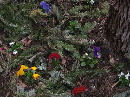 pansies and pine boughs