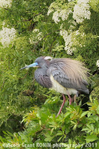 Fluffy Little Blue Heron by Scott Grant