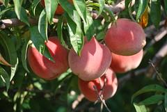 Fresh peaches  at Kimmel Orchard & Vineyard, Nebraska City