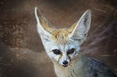Fennec Fox (HawaiianVirtualTours) Tags: fox nationalgeographic fennecfox nikkor18200mmvr natureplus nikonflickraward nikond7000 sweetfreedom hawaiianvirtualtours