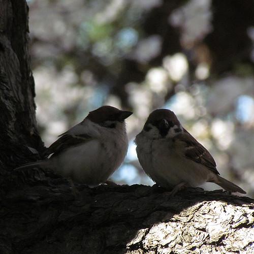 2011-4-6albino-Sparrow-4
