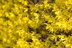 Kollane (anuwintschalek) Tags: yellow fence austria spring bush 85mm gelb hedge forsythia april zaun niedersterreich strauch frhling aed kevad hecke wienerneustadt 2011 micronikkor kollane hekk nikond90 psas ilupsas forstia kollasedpsad