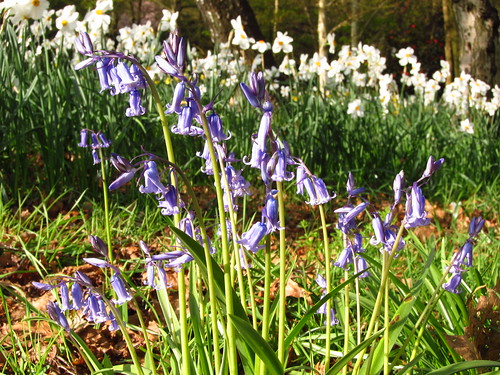 Bluebells and Daffodils in Cannizaro Park, Wimbledon