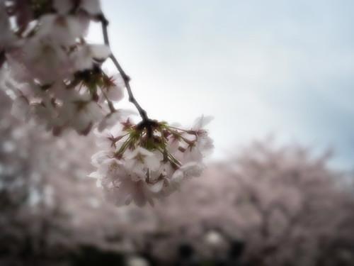sakura2011/Chidorigahuchi by alveenahugh