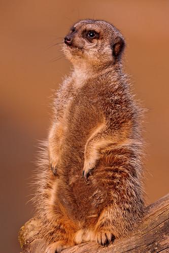 [フリー画像] 動物, 哺乳類, マングース科, ミーアキャット, 立っている, 201104111700