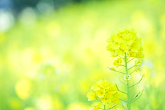 Bright and Cheerful (*Sakura*) Tags: flower macro green nature yellow japan tokyo  mustard sakura  canola