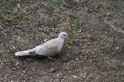 Dove by Elli :-)