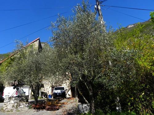 Brison-Les- oliviers de Brison-St-Innocent 048