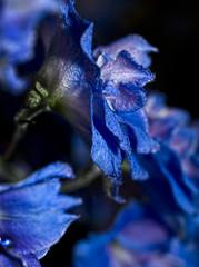 Fragility (bellaniko) Tags: blue flower macro delphinium naturethroughthelens