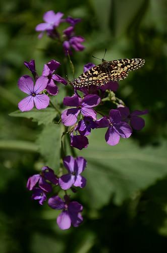 zerynthia rumina2