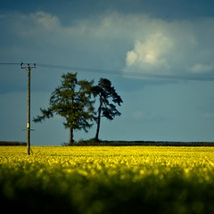 three trees and the dead one is live (photocillin) Tags: trees yellow square dead three wire bright farm live rape pole explore telegraph rapeseed explored summertimeuk