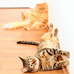 Garfi and Misket-My Cats Resting (E.L.A) Tags: pet cats pets cute nature animal animals closeup comfortable turkey square outdoors photography togetherness paw kitten feline funny europe day sitting friendship tabby fulllength longhair relaxing kittens nopeople istanbul indoors tired resting relaxation domesticanimals garfield laziness domesticcat hardwoodfloor gettyimages lyingdown tabbycat persiancat funnycats garfi misket colorimage purebredcat lookingatcamera twoanimals nextto highangleview animalthemes focusonforeground abigfave lyingonside bestcatphotos