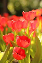 Red Tulips (Pressedinabook6) Tags: flowers red nature canon eos 50mm flora pittsburgh tulips bokeh pennsylvania f14 conservatory usm phipps vegitation ef 550d t2i mygearandme