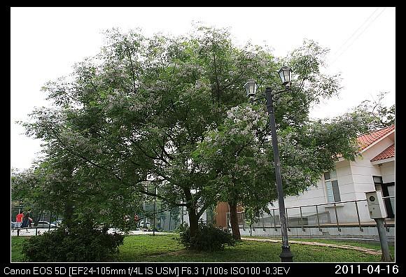 20110416F6新竹市的苦楝花