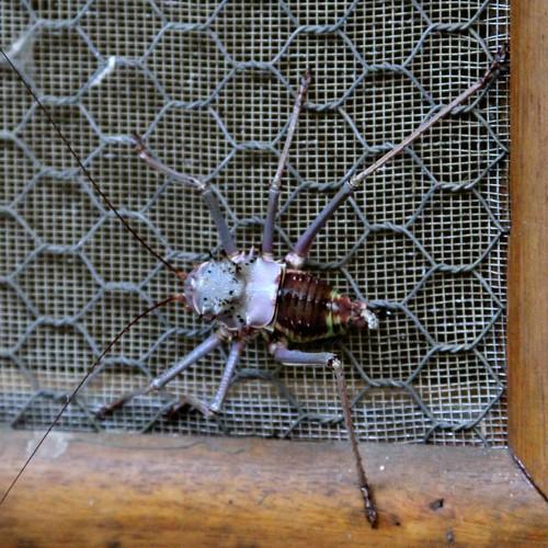 Koringkriek or Shieldback Katydid