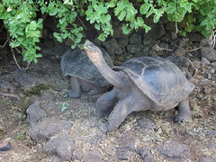Galapagos Turtle Eating