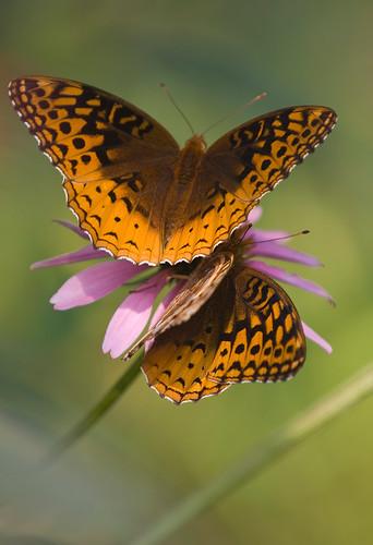 butterfly on flower-4