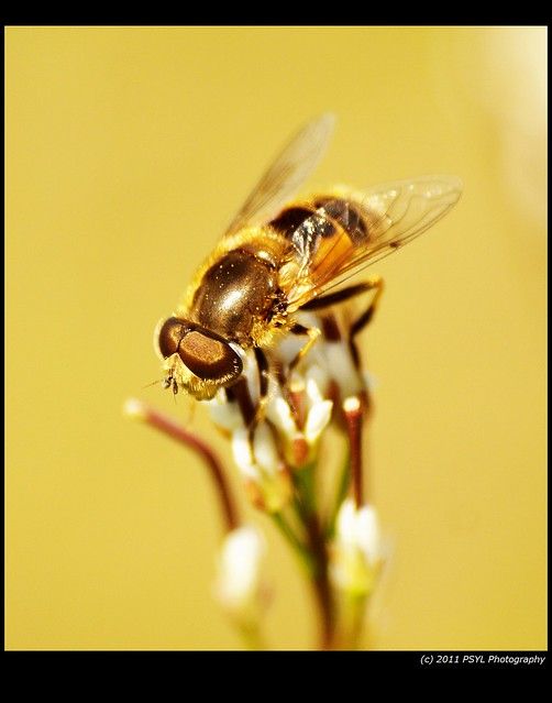Unknown Large Hoverfly (Family Syrphidae)