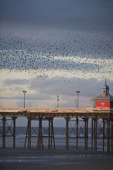 Sunset 2 (Chris_Wilkinson Photography) Tags: sunset flock starling environment blackpool behaviour