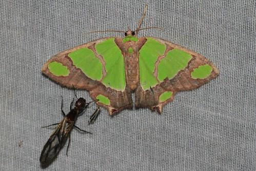 Agathia quinaria (Geometridae: Geometrinae)