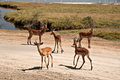 Impalas by the lake (LimeWave Photo) Tags: africa park travel wild nature animal animals fauna landscape view kenya wildlife safari national impala riftvalley lakenakuru impalas limewave jksafaris