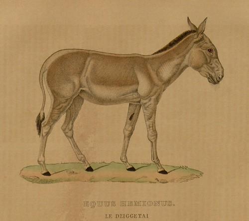 Equus hemions - Le Dziggetai
