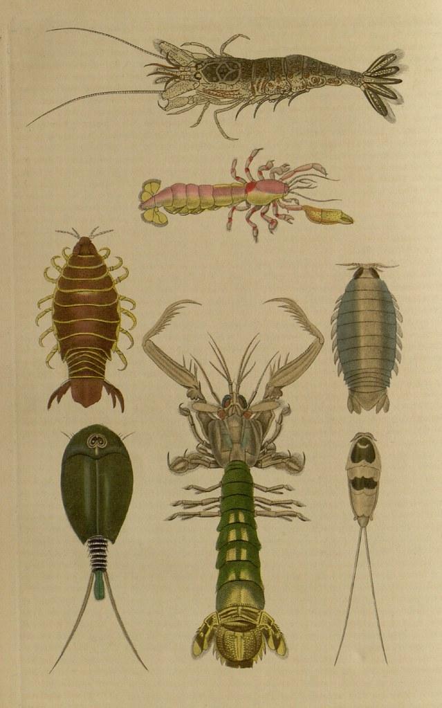 Callianase souterraine, Crangon vulgaire, Squille queue-rude, Anilocre du cap, Aega entaillee, Alepidure prolonge, Pandare bicolore