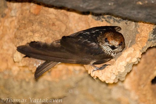 Streak-throated Swallow or the Indian Cliff Swallow