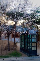 Cherry Blossom, public telephone