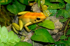 Black-legged Poison Dart Frog (Drriss) Tags: frogs herpetology poisondartfrogs taxonomy:class=amphibia taxonomy:order=anura taxonomy:species=bicolor taxonomy:family=dendrobatidae taxonomy:superclass=tetrapoda taxonomy:binomial=phyllobatesbicolor taxonomy:genus=phyllobates taxonomy:superfamily=dendrobatoidea taxonomy:subfamily=dendrobatinae taxonomy:infraclass=lissamphibia