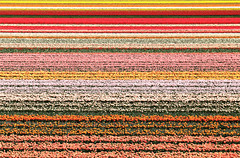Tulips Field in Keukenhof (Angelo Bosco) Tags: flowers flower holland netherlands colors colours tulips stripes tulip fiori olanda tulipfield keukenhof tulipano tulipani campiditulipano mygearandme