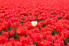Red tulips and a single white one. (elsa11) Tags: red white spring tulips lente egmond tulpen bulbfields tulipfields bollenvelden colorphotoaward flickraward
