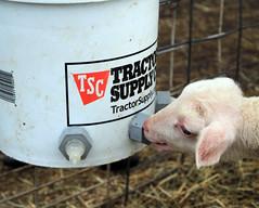 Bucket milker