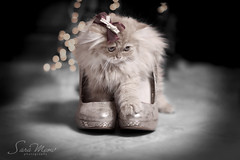 I am a Star (SaRa Meow  .. / @sosoMeow) Tags: show party pet cats pets cute animal cat gold persian eyes kitten shoes pretty bokeh adorable kitty meow canon50mm14 sarameow