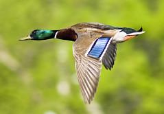 In a Hurry (Male Mallard) (phenix) Tags: duck minolta g sony flight apo 300mm tc mallard delaware f4 hs 14x a700 colorphotoaward beckspond hg~sb allnaturesparadise artistoftheyearlevel3 peregrino27life