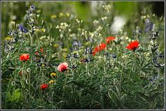 Wildflowers meadow -    (Eran Finkle) Tags: flowers flower backlight meadow pasture wildflowers backlit wildflower lupine   papaveraceae   lupinuspilosus  papaversubpiriforme faboideae   papaverumbonatum     bluemountainlupine