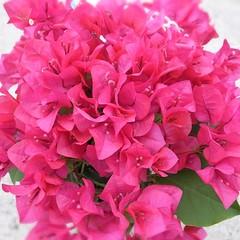 めぼしい花苗がなかったのでブーゲンビレアの小さい鉢を買ってきた。ベランダを南国に!