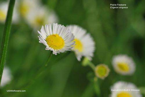 Prairie Fleabane, Lesser Daisy Fleabane - Erigeron strigosus